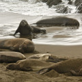 California - Elephant Seal Rookery