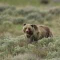 Yellowstone - Oso