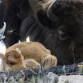 Yellowstone - Bisontes