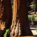 Sequoias - Yosemite