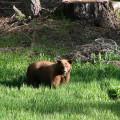 Oso en Yosemite